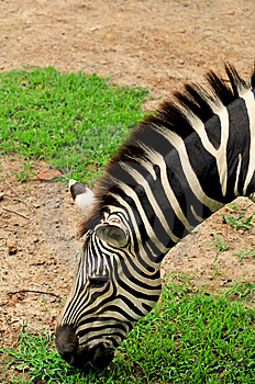 Zebra Stock Photo - Image: 7992160