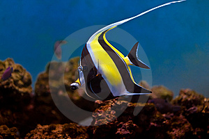 Moorish Idol Stock Images - Image: 7994134