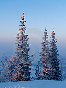 Firs On Sundown Stock Images - Image: 7997144