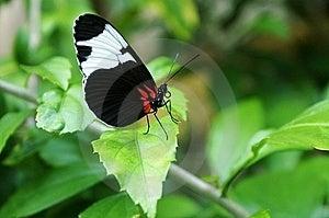 Zwart-witte Vlinder Royalty-vrije Stock Afbeelding - Afbeelding: 7997266