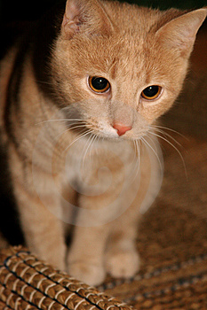 Cute Kitten Free Stock Images