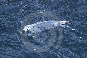 Harp Seal Stock Image