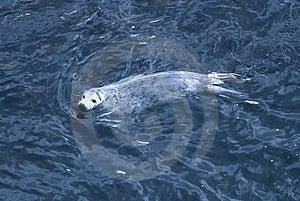 Harp Seal Stock Image