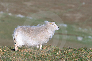 White Sheep Free Stock Images