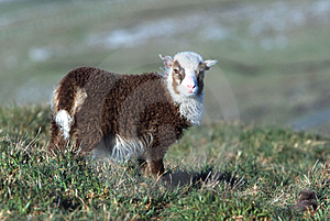 Lamb Stock Image