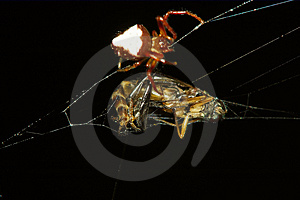 Spider Preparing Prey Free Stock Photos