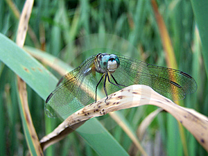 Blue Dragonfly Free Stock Photography