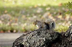 Alert squirrel Stock Photo