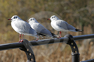 Seagulls In Row Stock Image