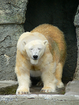 Polar Bear 1 Stock Photography