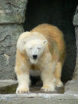 Polar Bear 1 Stock Photography