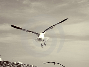 Flying Seagull. Stock Photography