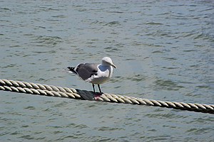 Seagull On Rope Stock Images