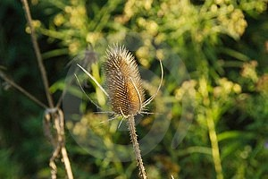 Dried Thistle Stock Photography
