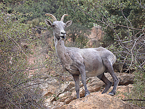 Bighorn Sheep At Grand Canyon Stock Photos