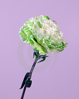 Green White Carnation Stock Photography