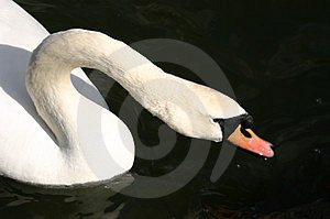 Swan Drinking Free Stock Photo