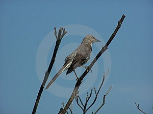 Mockingbird Stock Photo