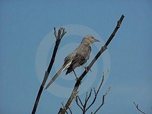 Mockingbird Στοκ Εικόνες