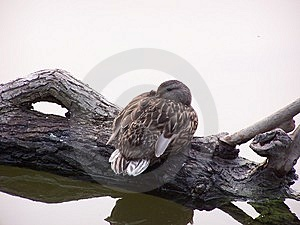 Mallard On Log Stock Photography