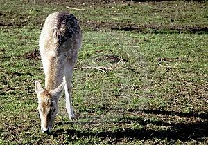 Female Deer Stock Photo