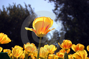 Yellow Tulips Free Stock Image