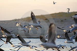 Seagulls In Flight Stock Image