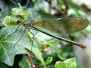 Green Damselfly Free Stock Photos