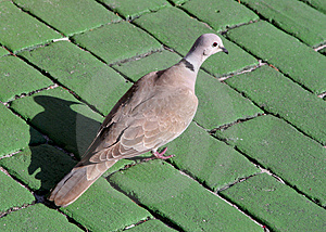 Mourning Dove Free Stock Photography