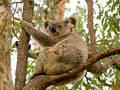 Koala bear Free Stock Image