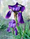 Iris Photographie stock libre de droits