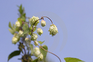 Hop Royalty Free Stock Image - Image: 808006