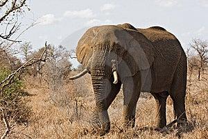 African Elephant Royalty Free Stock Image - Image: 8001806