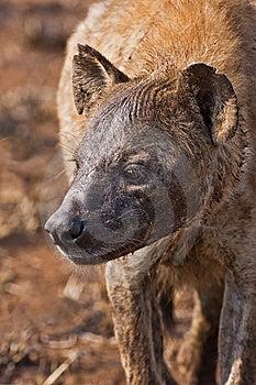 Hyaena Stock Photos - Image: 8003003
