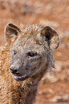 Hyaena Stock Photography - Image: 8003392