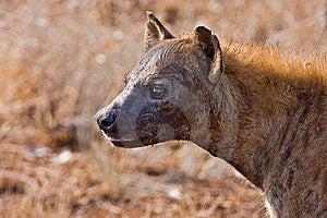 Hyaena Stock Photo - Image: 8003410