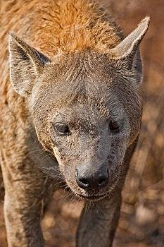 Hyaena Stock Images - Image: 8003424