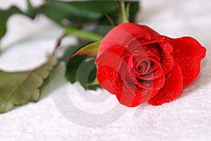 Scarlet Rose With Dew Stock Photos - Image: 8003703
