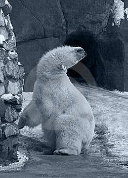Funny White Polar Bear Stock Photo - Image: 8005770