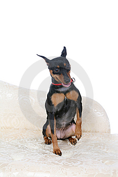 Cute Little Dog Sitting With One Paw Raised Royalty Free Stock Image - Image: 8005976