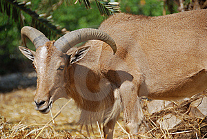 Moroccan Mountain Goat Stock Photos - Image: 8006353