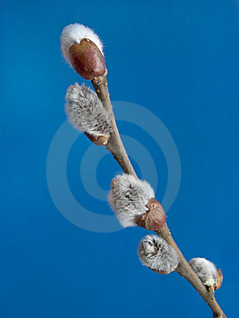 Willow Royalty Free Stock Images - Image: 8014749