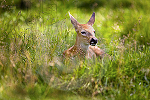 Fawn Resting 6 Royalty Free Stock Photo - Image: 8021025