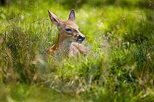 Fawn Resting 5 Royalty Free Stock Photo - Image: 8021175