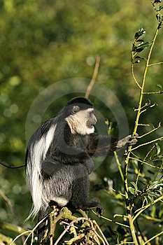 Black-and-white Colobus Monkey In A Tree Stock Photography - Image: 8023512