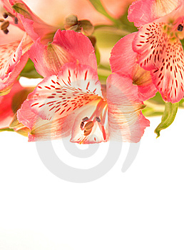 Pink Tropical Orchids On White Stock Image - Image: 8025541