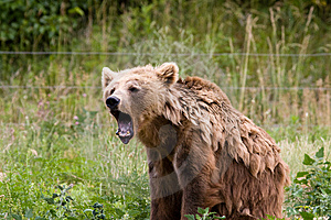 Angry Bear Royalty Free Stock Images - Image: 8026889