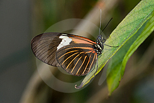 Piano Key Butterfly (Heliconius Melpomene). Stock Photo - Image: 8028980