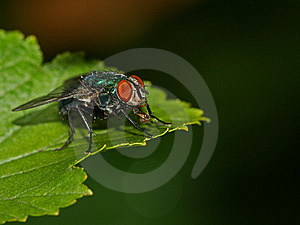 Fly On Leaf Stock Image - Image: 8028981