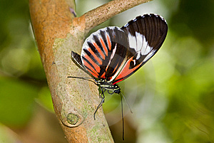 Piano Key Butterfly (Heliconius Melpomene). Royalty Free Stock Images - Image: 8028989